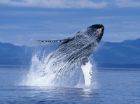 "Humpback Whales 3D"" dives into the Pink Palace CTI 3D Giant Theater Mar. 7–Nov. 13."